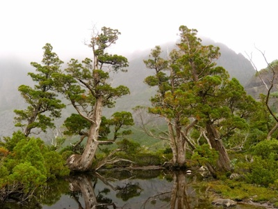 Ancient pencil pines, Tasmania. ©Getty Images