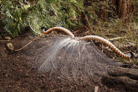 A lyrebird male dancing to impress a female. ©Getty Images
