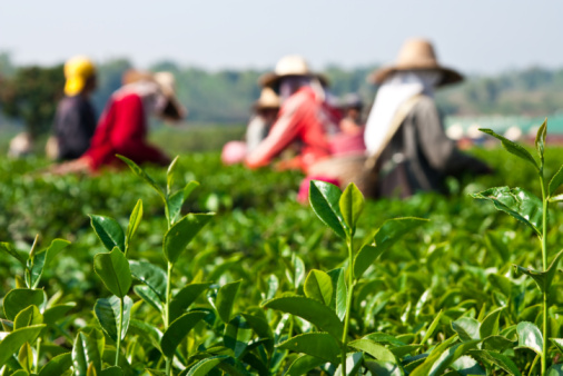 Tea pickers pick about 20 kilograms of leaves each day © Getty Images