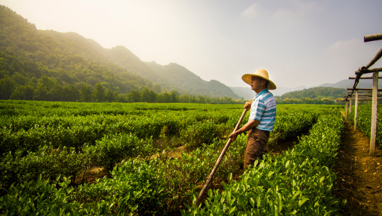 A worker in a tea plantation. Getty Images