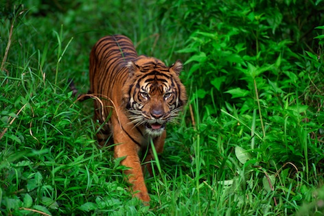 Found only in Sumatran rainforest, the Critically Endangered Sumatran tiger. ©Getty Images