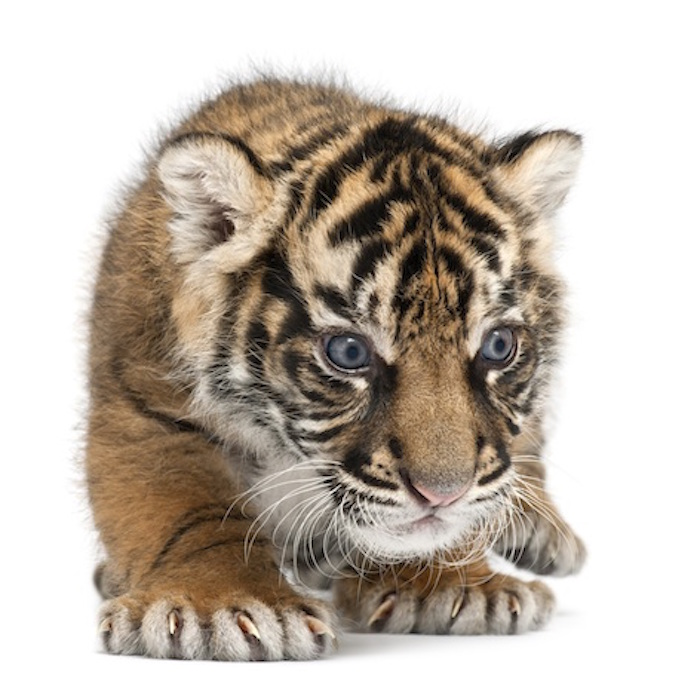 Sumatran tiger cub. Tiger cubs have blue eyes for their first few weeks of life. ©Getty Images