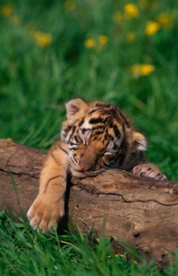 Bengal tiger cub interrupts play to have a nap. ©Getty Images