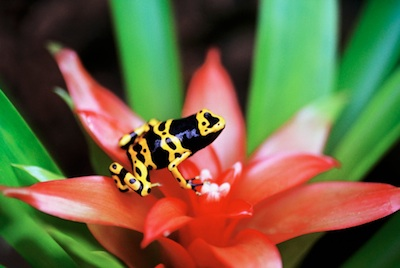 A tiny 'poison arrow' frog whose colours are a warning. ©Getty Images