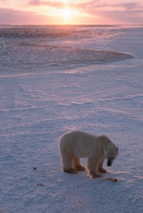 Polar bear on the tundra ©Getty Images