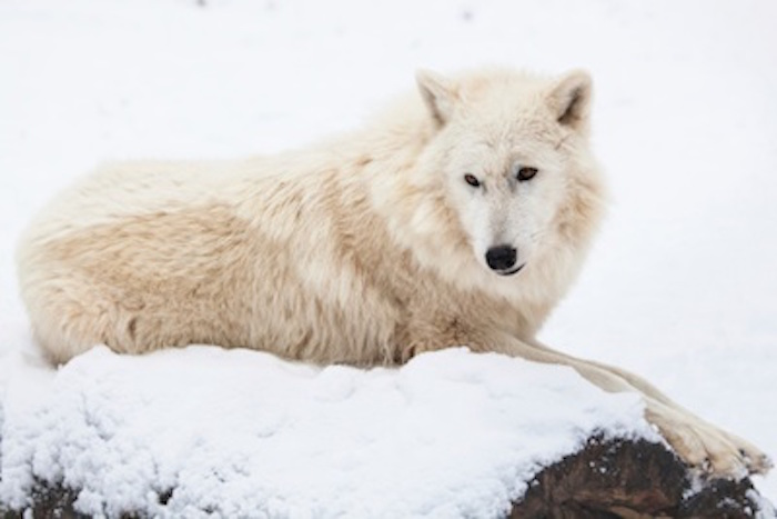 Arctic wolf ©Getty Images