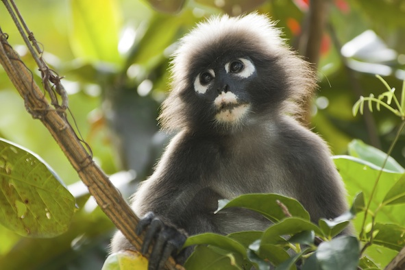 Spectacled langur. Photo©Getty Images