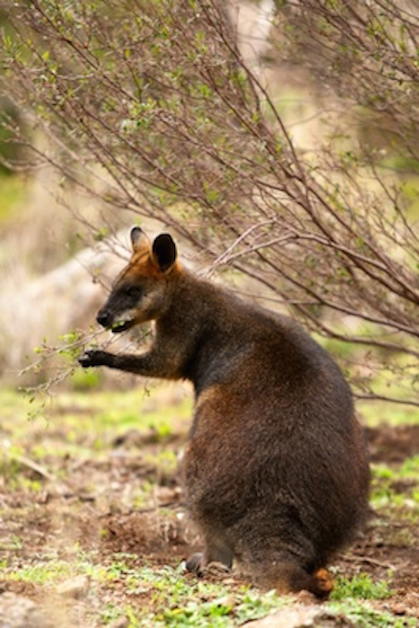 The swamp wallaby is a dark colour. ©Getty Images