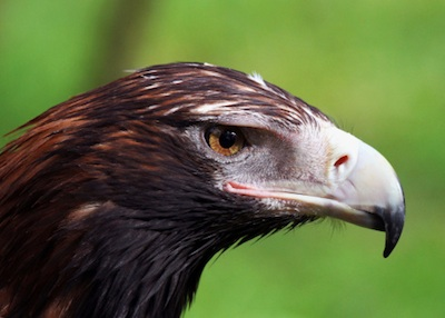 The hooked beak is as large as its head. ©Getty Images