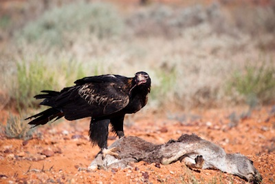 Feeding on carrion ©Getty Images