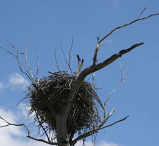 Wedge-tailed eagle nest ©Getty Images