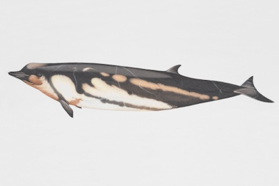 Shepherd's beaked whale. ©Getty Images