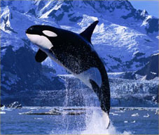 An orca breaching. ©Getty Images