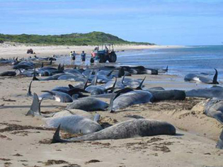 Beached, or stranded, whales.