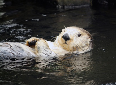 Sea otter holding a rock that it uses to open shells ©Getty Images