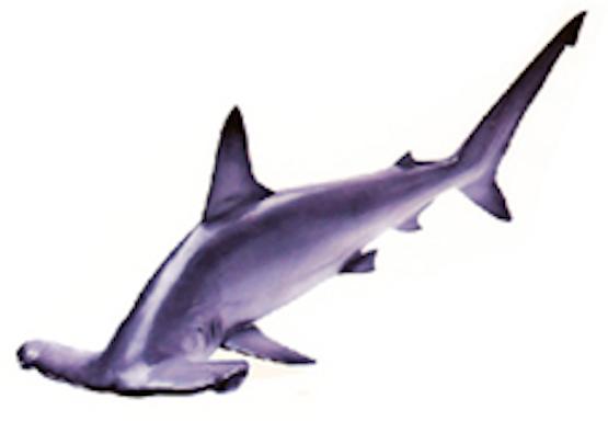 hammerhead shark ©Getty Images