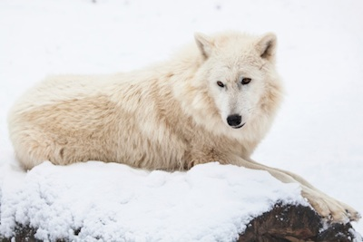Arctic wolf©Getty Images