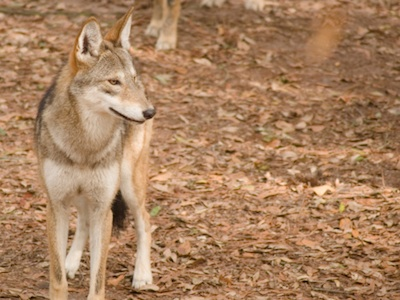 Red wolf ©Getty Images