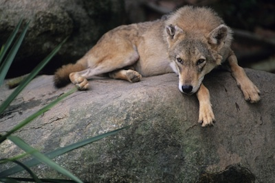 Indian wolf ©Getty Images