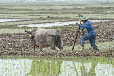 Water buffalo pulling a plough in a rice paddy. Image©iStock