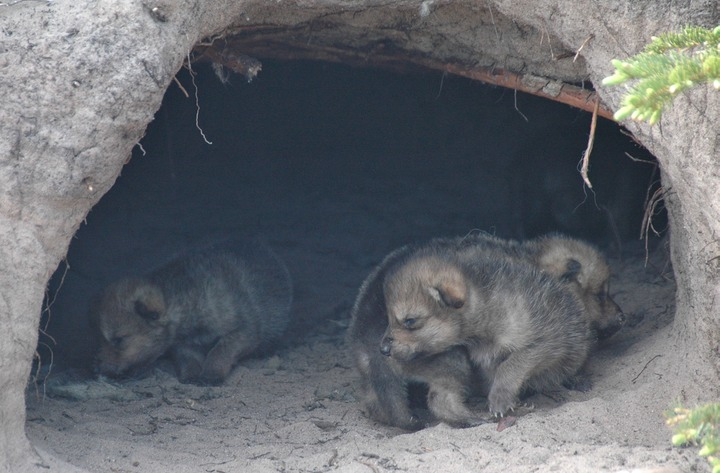 Grey wolf pups in a den ©Andrew Perry