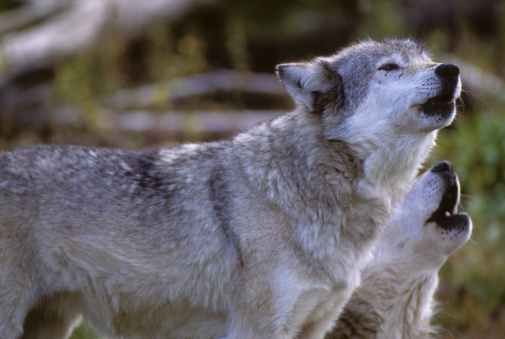 Wolves howl to communicate with others. © Getty Images