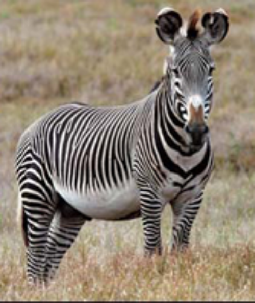 Grevy's zebra have big, rounded ears. Getty Images