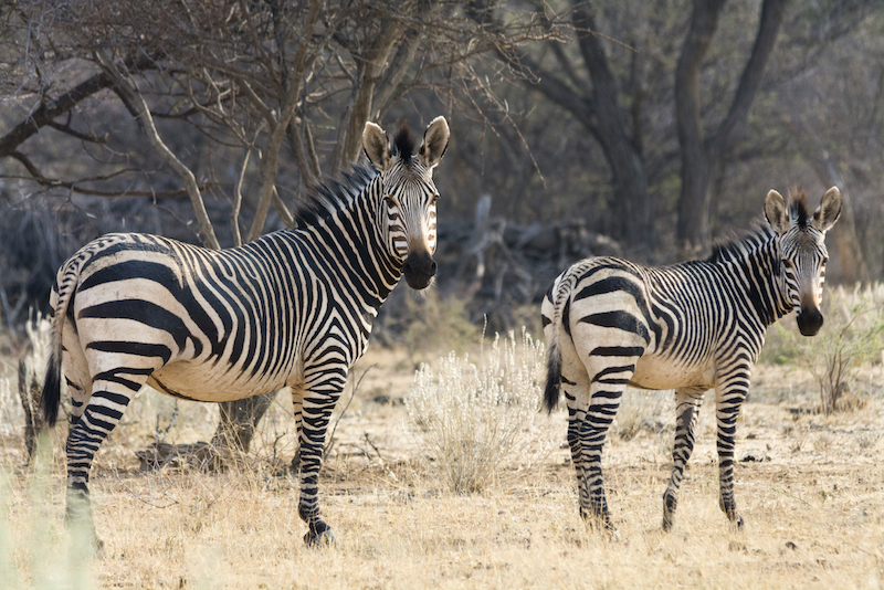 The stripes of a mountain zebra's rump are widely spaced. Getty Images