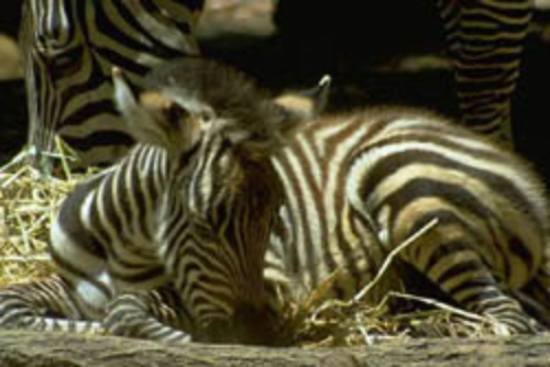 A newborn zebra foal. ©Getty Images