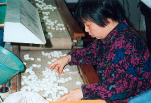 This woman is inspecting the cocoons. She will remove any that are damaged. Photo©kidcyber