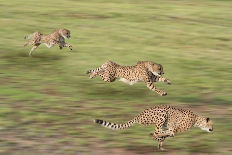 The fastest animal: the cheetah. Getty Images