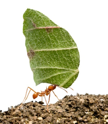Leafcutter ants grow their own food! Getty Images