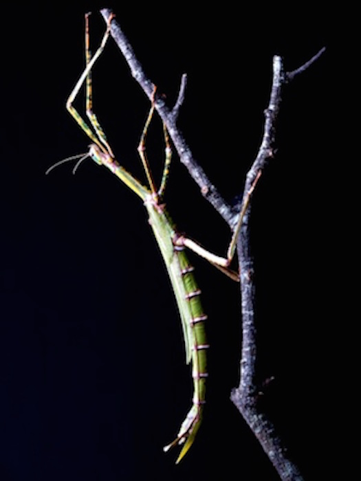 One kind of adaptation is camouflage. This is a stick insect. Getty Images.
