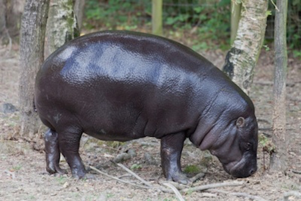 Pygmy hippo habitat is forest near swampy areas. ©Getty Images