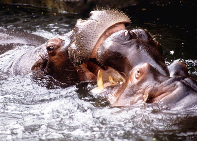Two male hippos fighting. Hippos can inflict serious damage in a fight. Getty Images