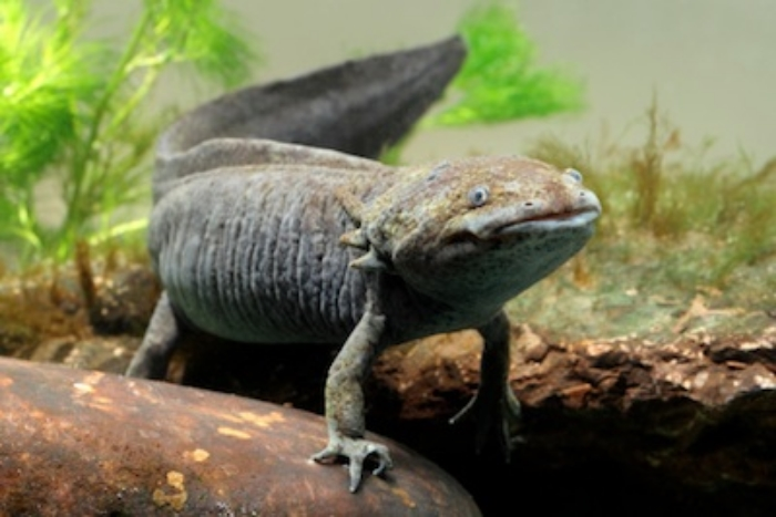 A black axolotl © Getty Images