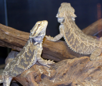 Bearded dragons ©Getty Images