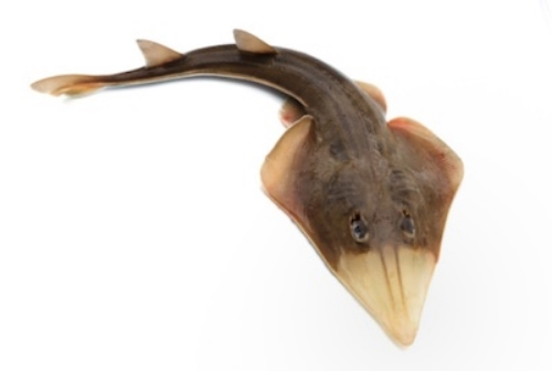 The skate is in the same family of fish as the stingray. ©Getty Images