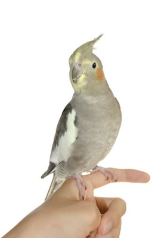 A pet female cockatiel ©Getty Images