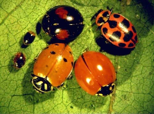 Not all ladybirds look the same. Getty Images