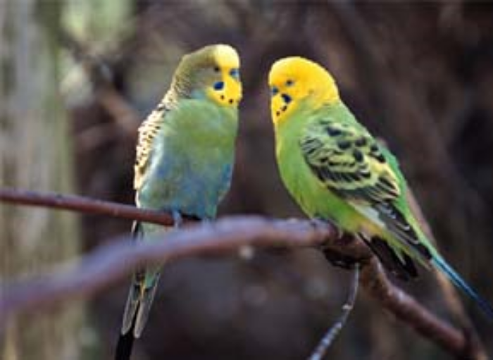 Budgerigars in the wild. © Getty Images