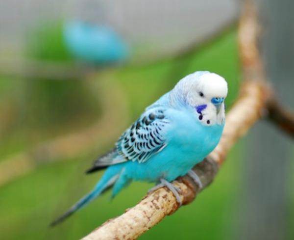 Adult males have a blue cere above the beak. ©Getty Images