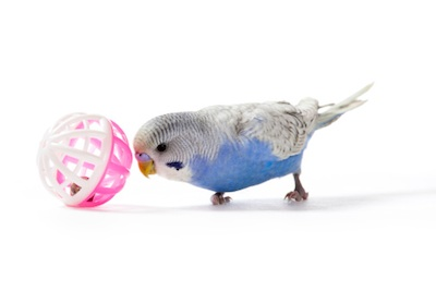 Small toys and mirrors keep pet budgies entertained. Getty Images