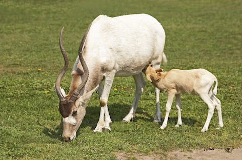 An addax calf is drinking milk. Getty Images