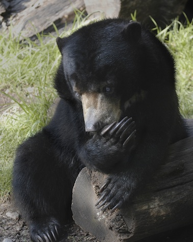 Bears have long claws Getty Images
