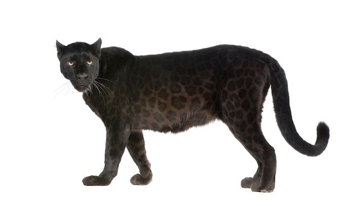 Can you see the black spots on the black jaguar?  Getty Images