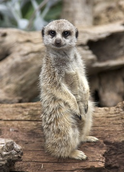 One meerkat keeps a look out for danger. Getty Images