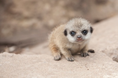A baby meerkat. Getty Images