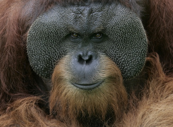 A grown up male orangutan has cheek flaps.              Getty Images