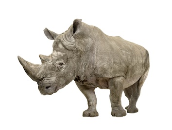 Southern white rhinoceros. Getty Images